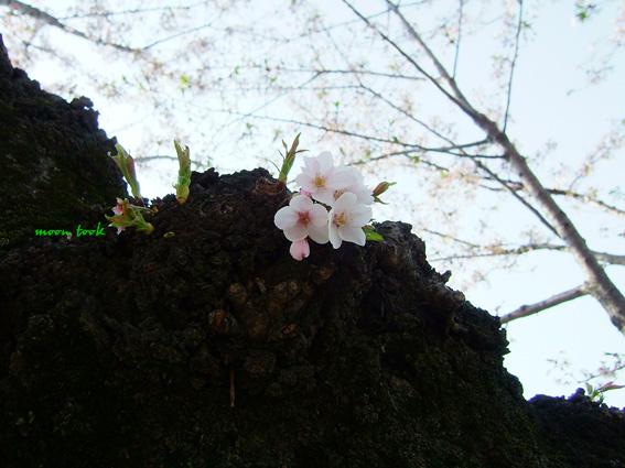 2008sakura