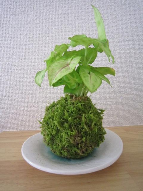 HP苔玉シンゴ