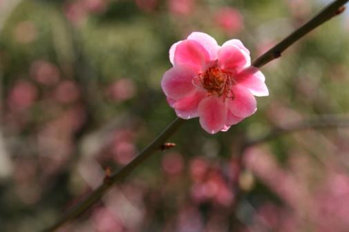世紀公園の梅