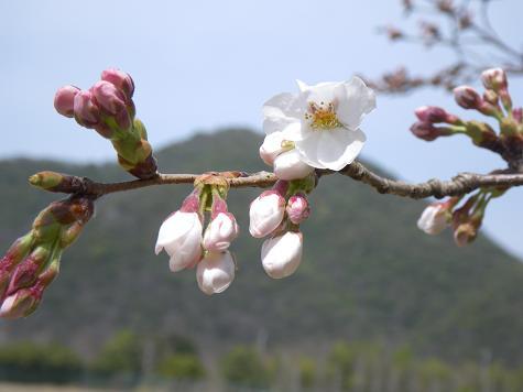 4/03桜