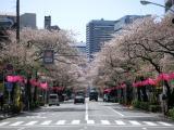 中野桜並木