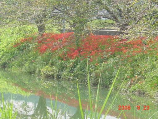 葉梨川のヒガンバナ2