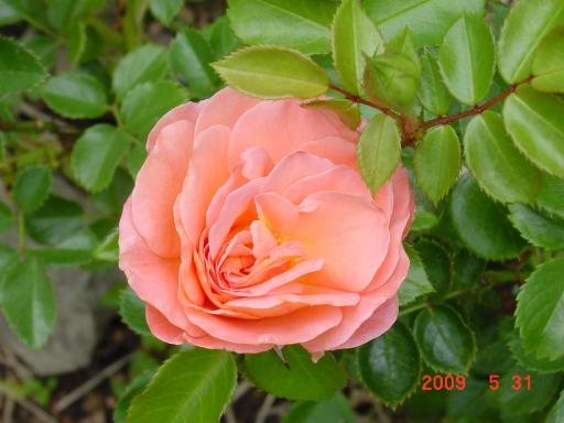 5月のバラ3