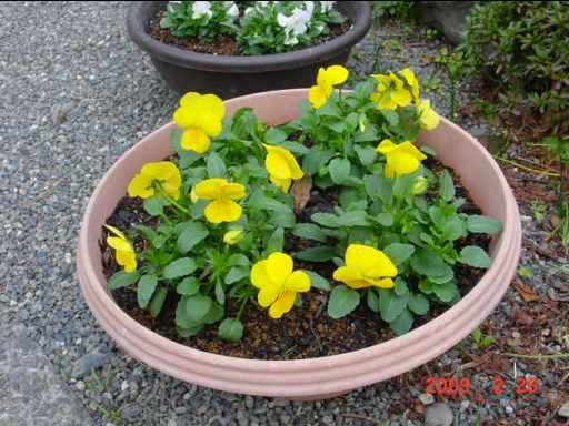 鉢植えビオラ2