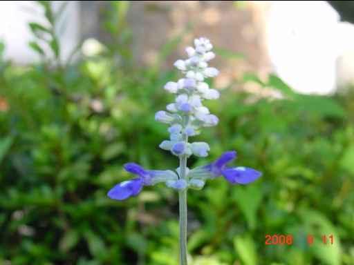 青いサルビア