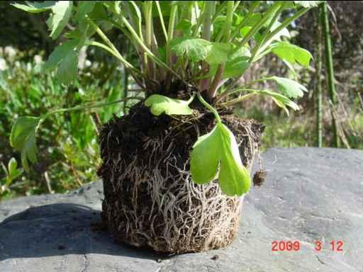 ラナンキュラスの根鉢
