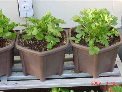 鉢植えラナンキュラス