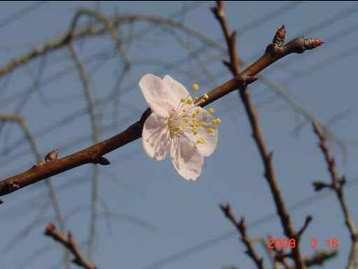 アンズの花2