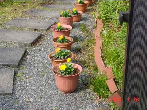 鉢植えビオラ3
