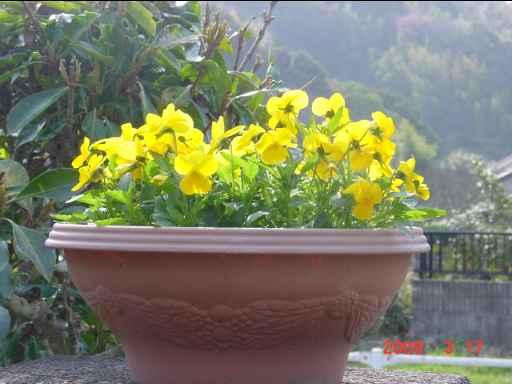 黄色のビオラ2