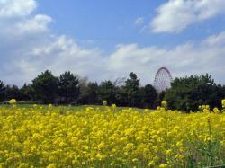 臨海公園の菜の花は一応地元の名物みたい