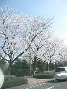 桜さく112