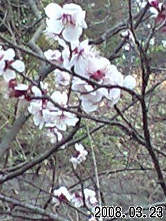 080323智光山公園桜