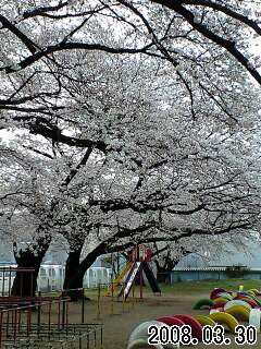 080330富士見小桜1