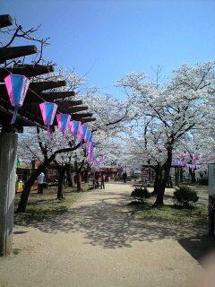 080404桜1