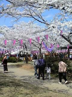 080404桜3