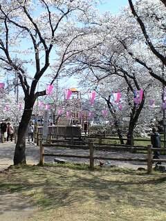 080404桜2