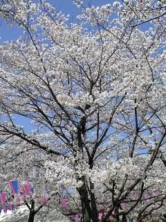 080404桜4