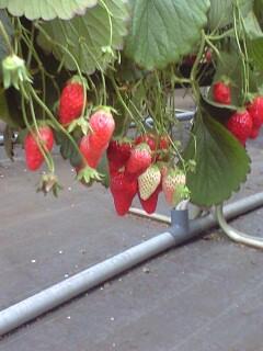 080514苺