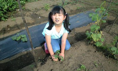 080615ミニトマト植える実織