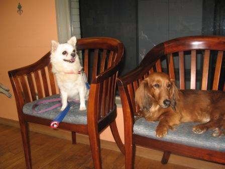 愛犬サロン、椅子の上のプリン・茶々