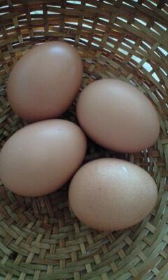 080827たかはしたまごの卵