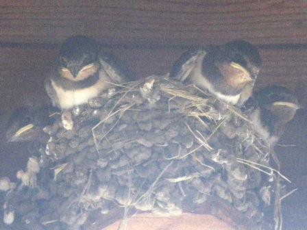 swallows06