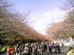 3/20時点の上野の桜