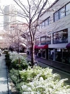 花の道の桜&雪柳1