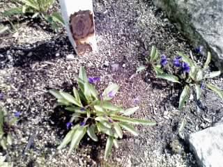 花の道のすみれ