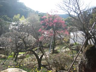 熱海梅園(3)