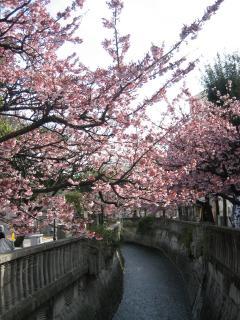 熱海桜(1)