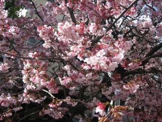 熱海桜(2)