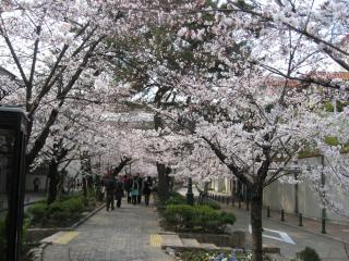 花の道の桜1