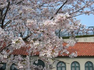 花の道の桜4