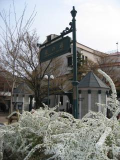 花の道の雪柳1