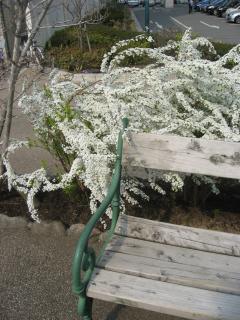 花の道の雪柳2