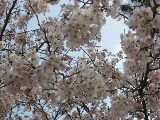 花の道の桜5