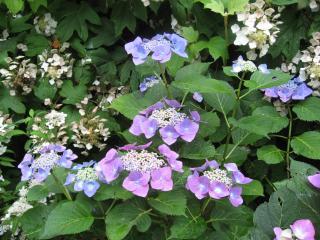 久米寺の紫陽花1