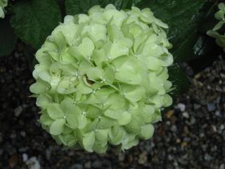 久米寺の紫陽花9