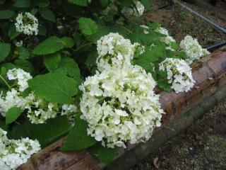 久米寺の紫陽花15