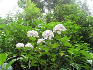 久米寺の紫陽花3