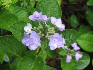 久米寺の紫陽花4
