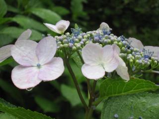 久米寺の紫陽花5