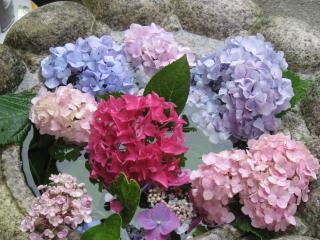 久米寺の紫陽花12