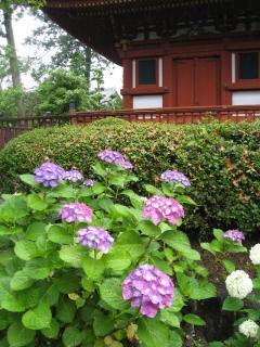 久米寺の紫陽花6