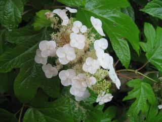 久米寺の紫陽花13