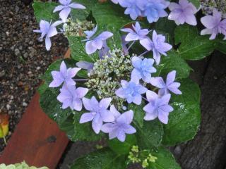 久米寺の紫陽花11