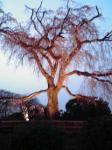 円山公園の垂れ桜