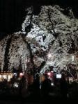 白河の桜2